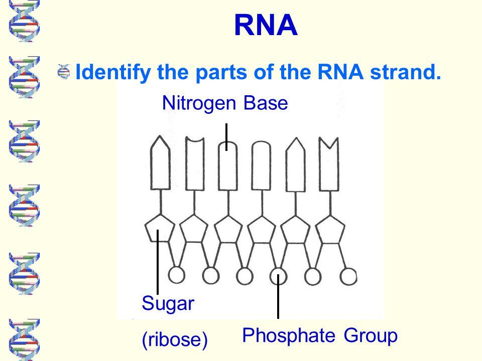 A B C RNA Nucleotides A - Sugar (ribose) B - Phosphate C - Nitrogen base sugar phosphate nitrogen base