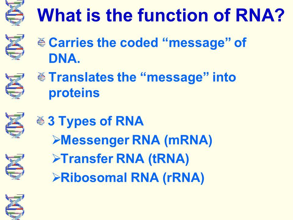 DNA makes RNA C = G A = U 3' DNA strand 5' DNA strand RNA strand C A T G G U C A
