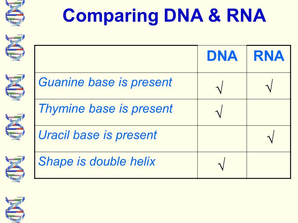 DNARNA Sugar is deoxyribose Sugar is ribose Adenine base is present Cytosine base is present √ √ √√ √√ Comparing DNA & RNA