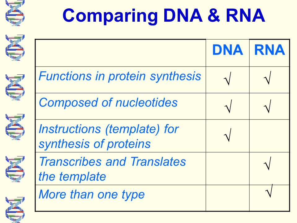 DNARNA Shape is single stranded Located in nucleus Located in cytoplasm Stores genetic information √ √ √ √ √ Comparing DNA & RNA