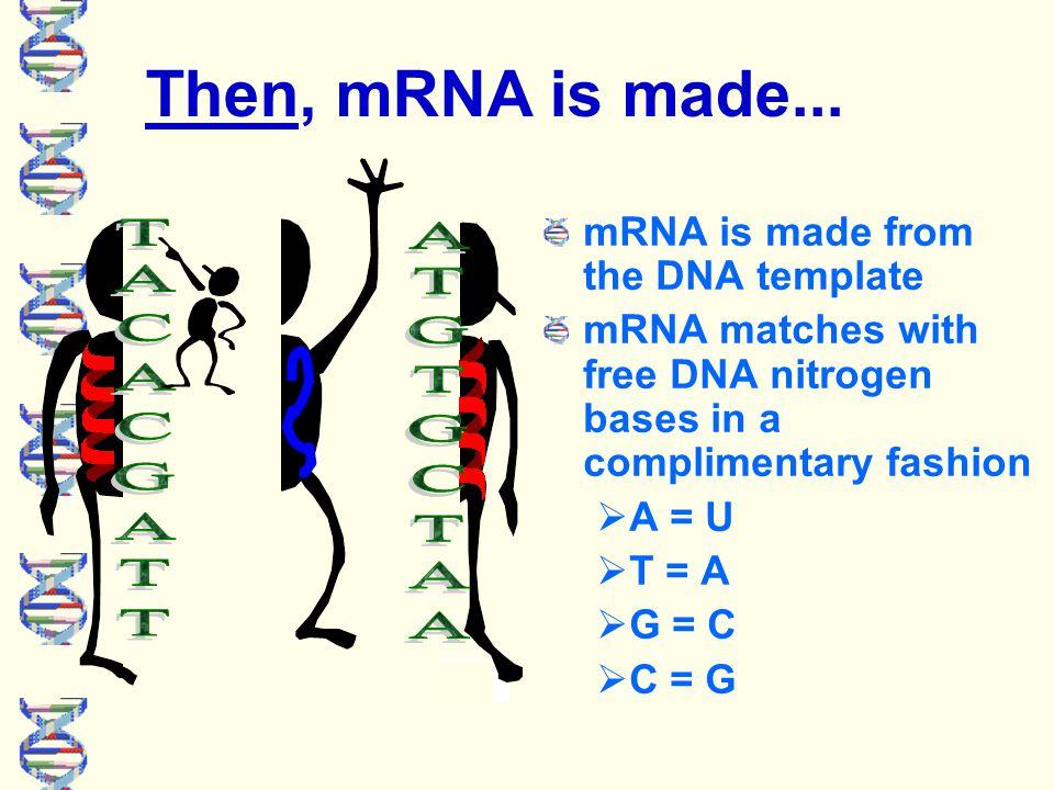 First, DNA unzips itself... DNA unzips itself, exposing free nitrogen bases.