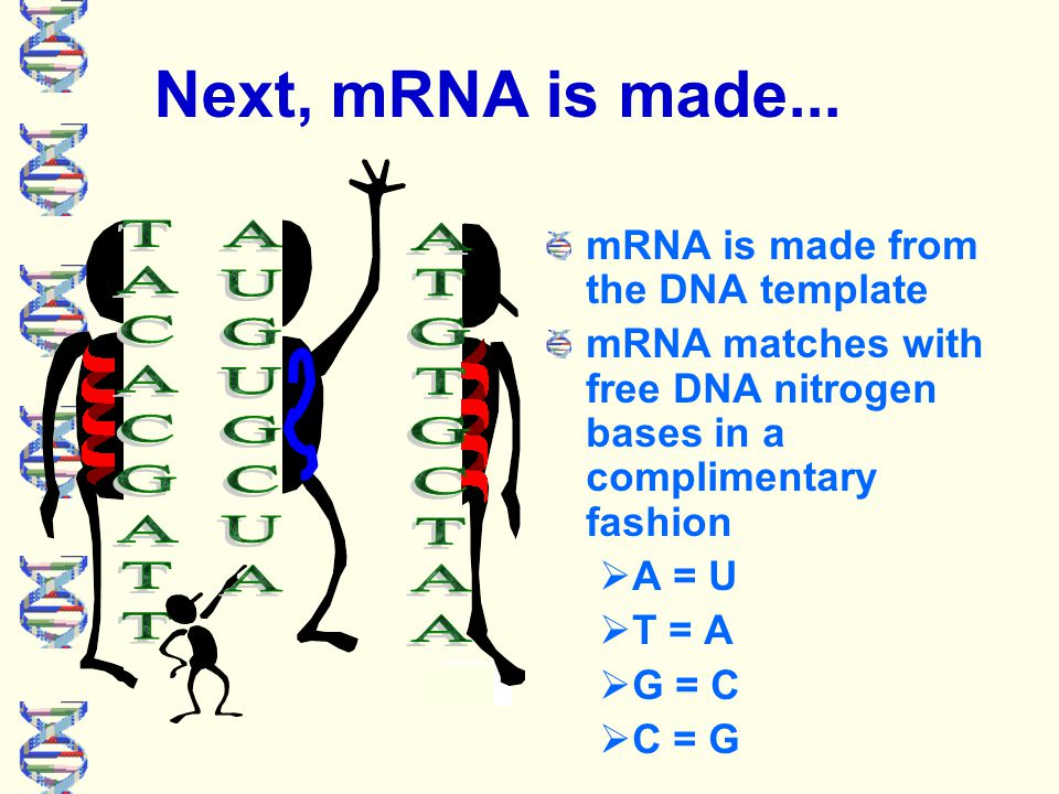 Next, mRNA is made...