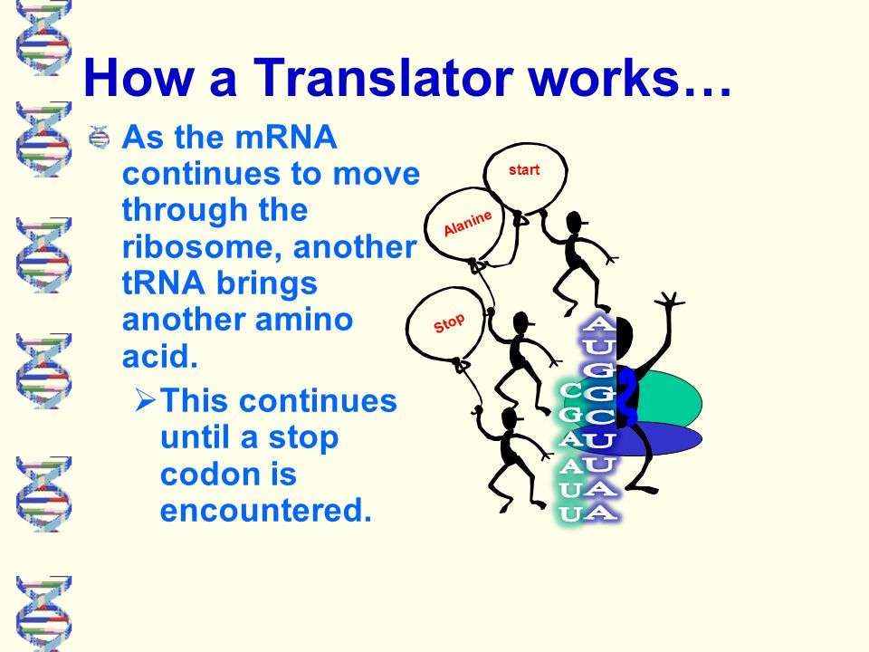 How a Translator works… 2. mRNA moves through the ribosome and another tRNA meets up with it's corresponding mRNA.  A bond forms between the amino ac