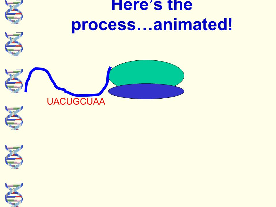 Here's the process…animated! UACUGCUAA Note: this is a really basic representation of this process!