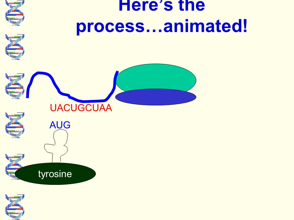 Here's the process…animated! UACUGCUAA