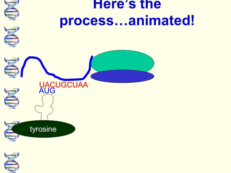 Here's the process…animated! UACUGCUAA tyrosine AUG