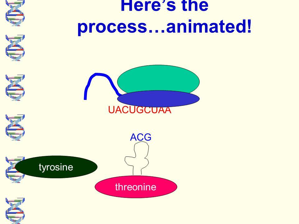 UACUGCUAA Here's the process…animated! tyrosine