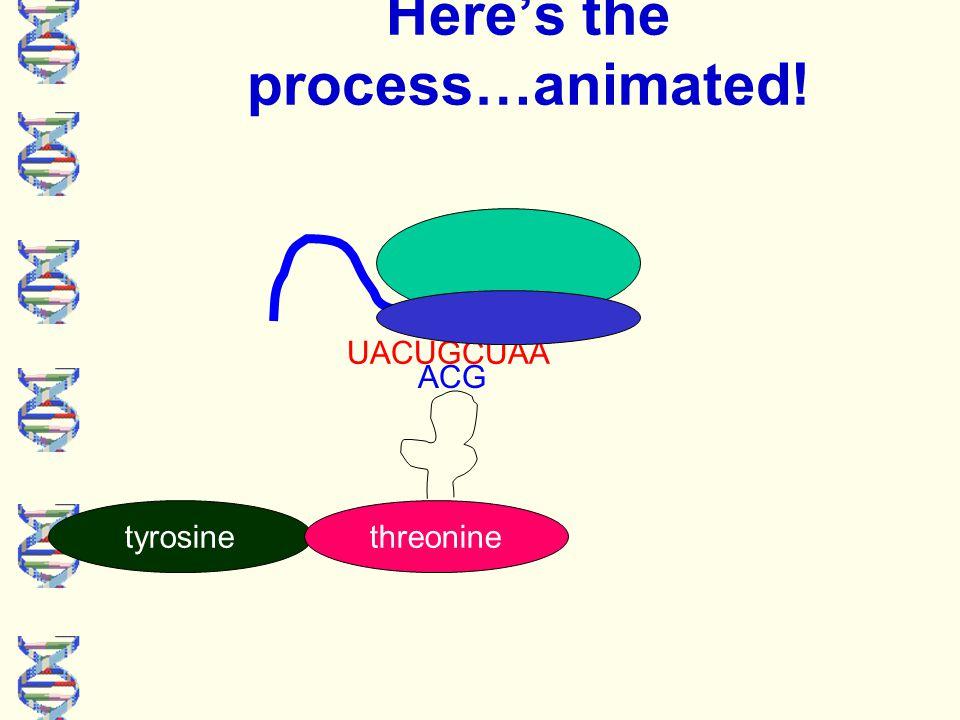 UACUGCUAA Here's the process…animated! tyrosine threonine ACG