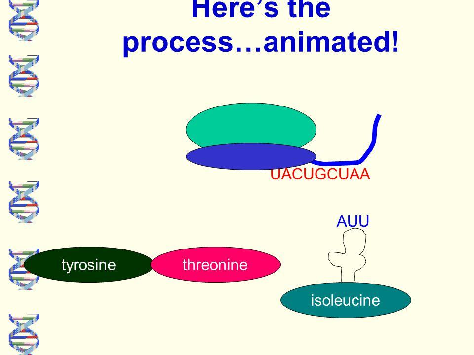 UACUGCUAA Here's the process…animated! tyrosinethreonine