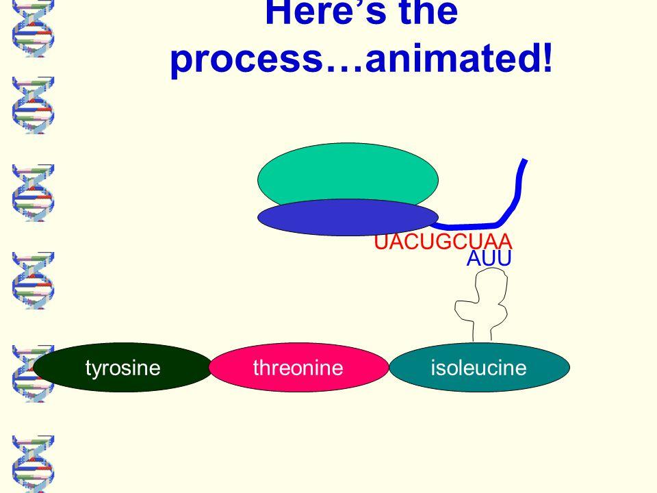 UACUGCUAA Here's the process…animated! tyrosinethreonine isoleucine AUU