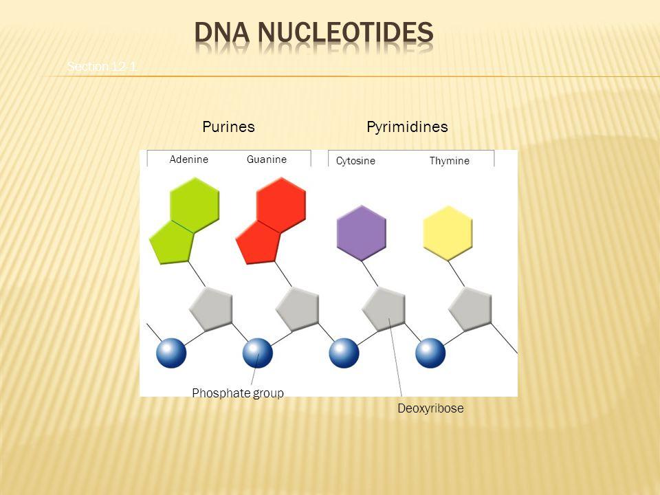 PurinesPyrimidines AdenineGuanine CytosineThymine Phosphate group Deoxyribose Section 12-1