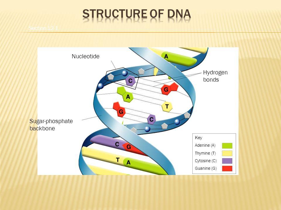 Hydrogen bonds Nucleotide Sugar-phosphate backbone Key Adenine (A) Thymine (T) Cytosine (C) Guanine (G) Section 12-1