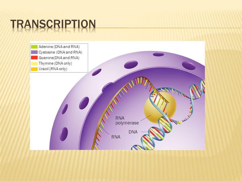 RNA DNA RNA polymerase Adenine (DNA and RNA) Cystosine (DNA and RNA) Guanine(DNA and RNA) Thymine (DNA only) Uracil (RNA only)