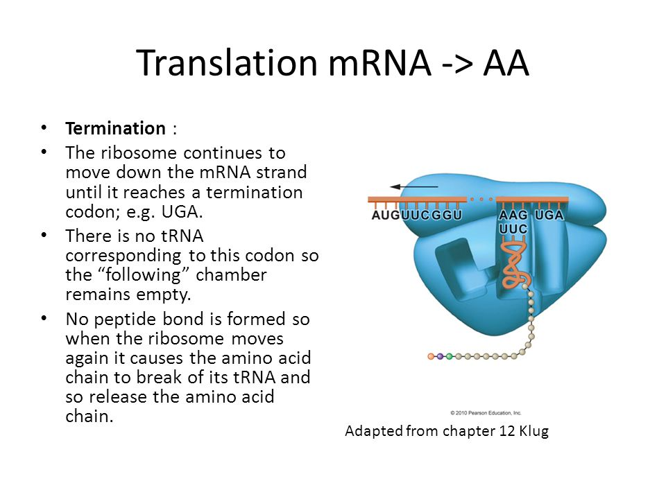 Translation mRNA -> AA Termination : The ribosome continues to move down the mRNA strand until it reaches a termination codon; e.g. UGA. There is no t