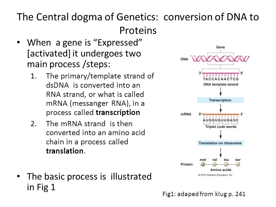 "The Central dogma of Genetics: conversion of DNA to Proteins When a gene is ""Expressed"" [activated] it undergoes two main process /steps: 1.The primar"