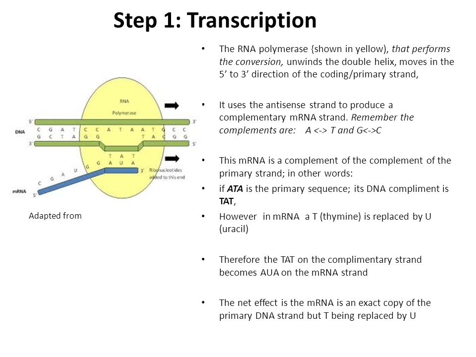 Step 1: Transcription The RNA polymerase {shown in yellow), that performs the conversion, unwinds the double helix, moves in the 5' to 3' direction of the coding/primary strand, It uses the antisense strand to produce a complementary mRNA strand.