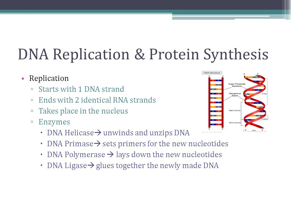 DNA Replication & Protein Synthesis Replication ▫ Starts with 1 DNA strand ▫ Ends with 2 identical RNA strands ▫ Takes place in the nucleus ▫ Enzymes  DNA Helicase  unwinds and unzips DNA  DNA Primase  sets primers for the new nucleotides  DNA Polymerase  lays down the new nucleotides  DNA Ligase  glues together the newly made DNA