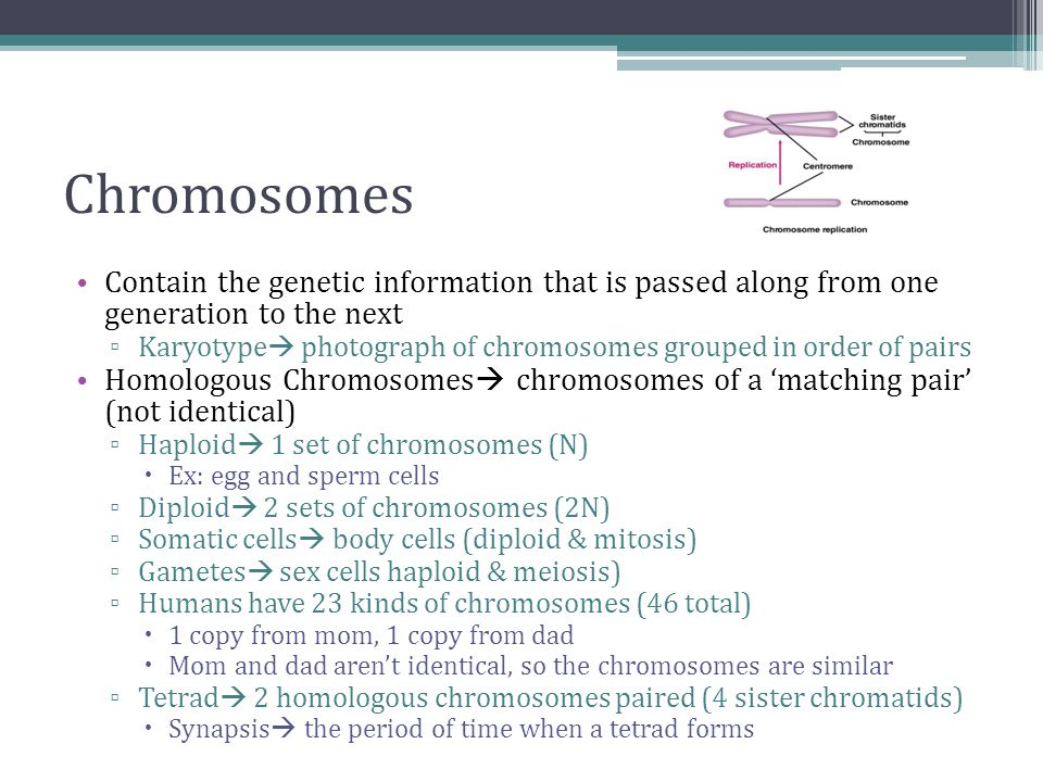 Chromosomes Contain the genetic information that is passed along from one generation to the next ▫ Karyotype  photograph of chromosomes grouped in order of pairs Homologous Chromosomes  chromosomes of a 'matching pair' (not identical) ▫ Haploid  1 set of chromosomes (N)  Ex: egg and sperm cells ▫ Diploid  2 sets of chromosomes (2N) ▫ Somatic cells  body cells (diploid & mitosis) ▫ Gametes  sex cells haploid & meiosis) ▫ Humans have 23 kinds of chromosomes (46 total)  1 copy from mom, 1 copy from dad  Mom and dad aren't identical, so the chromosomes are similar ▫ Tetrad  2 homologous chromosomes paired (4 sister chromatids)  Synapsis  the period of time when a tetrad forms