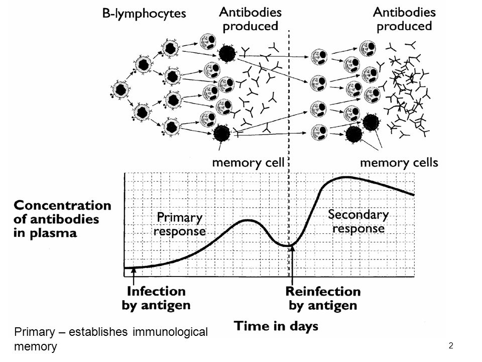 2 Primary – establishes immunological memory