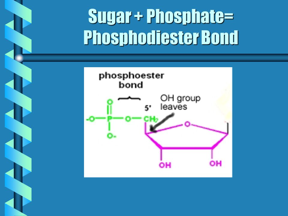 Sugar + Phosphate= Phosphodiester Bond