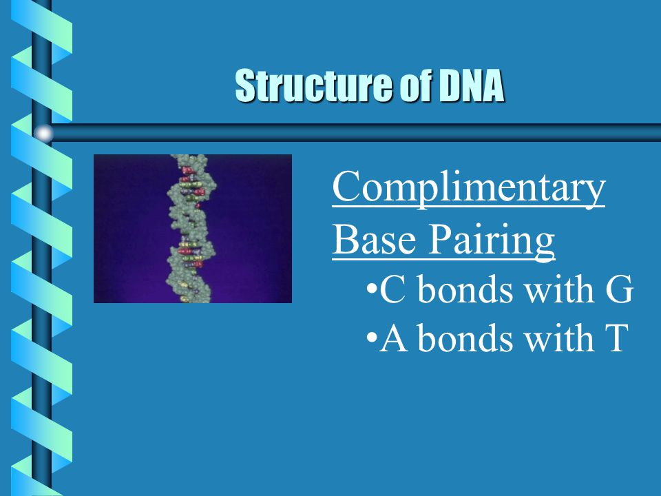 Structure of DNA Complimentary Base Pairing C bonds with G A bonds with T