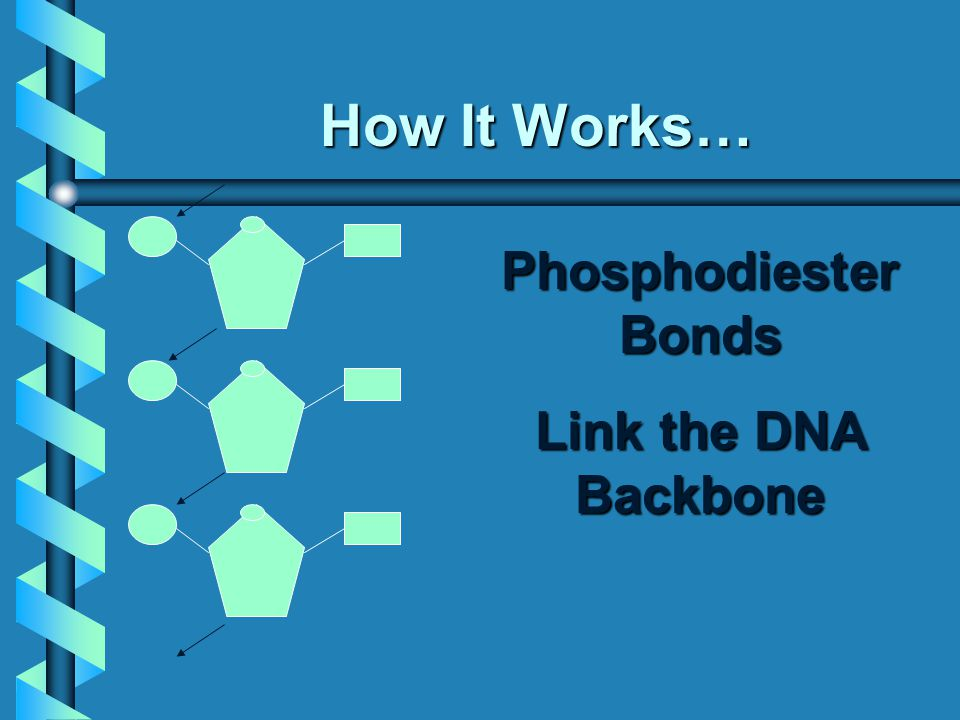 How It Works… Phosphodiester Bonds Link the DNA Backbone