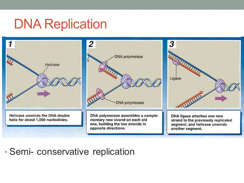 DNA Replication Semi- conservative replication