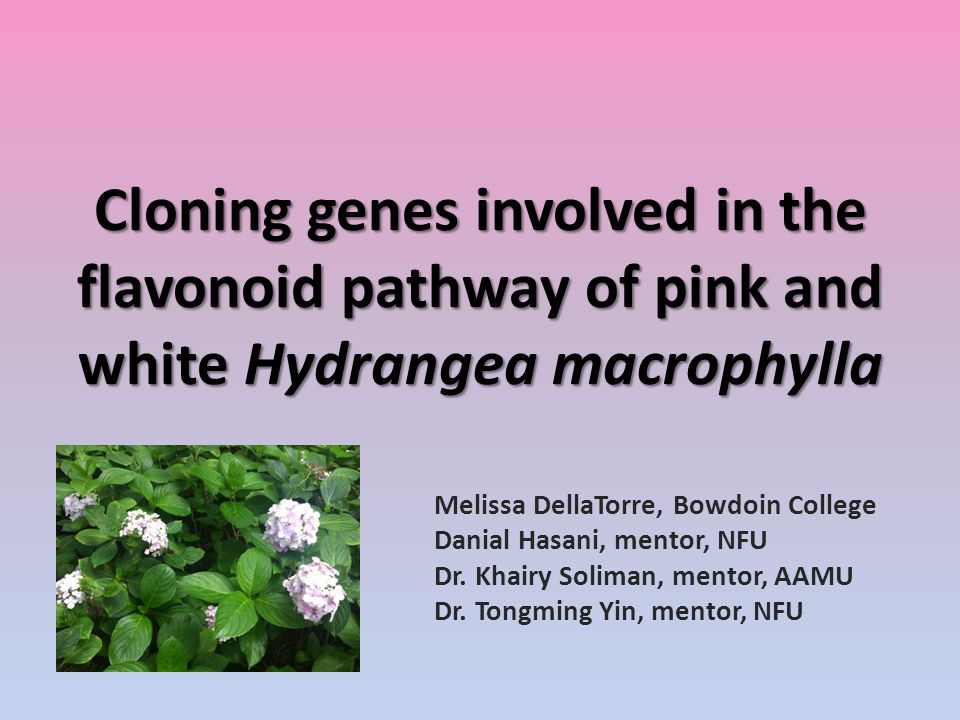 Cloning genes involved in the flavonoid pathway of pink and white Hydrangea macrophylla Melissa DellaTorre, Bowdoin College Danial Hasani, mentor, NFU Dr.