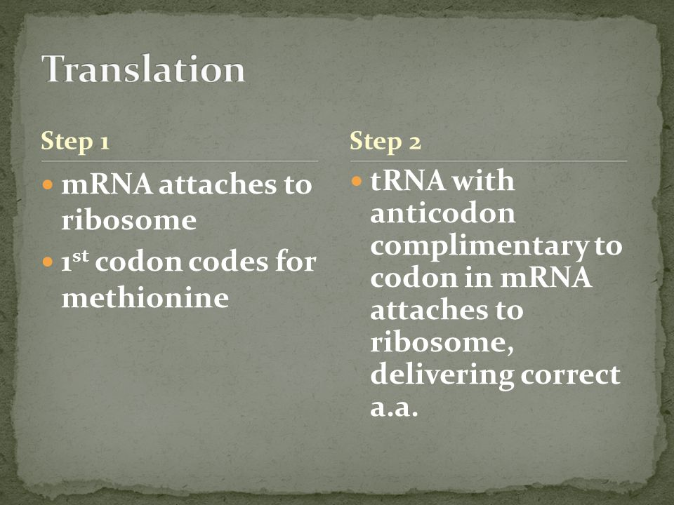 Step 1 mRNA attaches to ribosome 1 st codon codes for methionine tRNA with anticodon complimentary to codon in mRNA attaches to ribosome, delivering correct a.a.