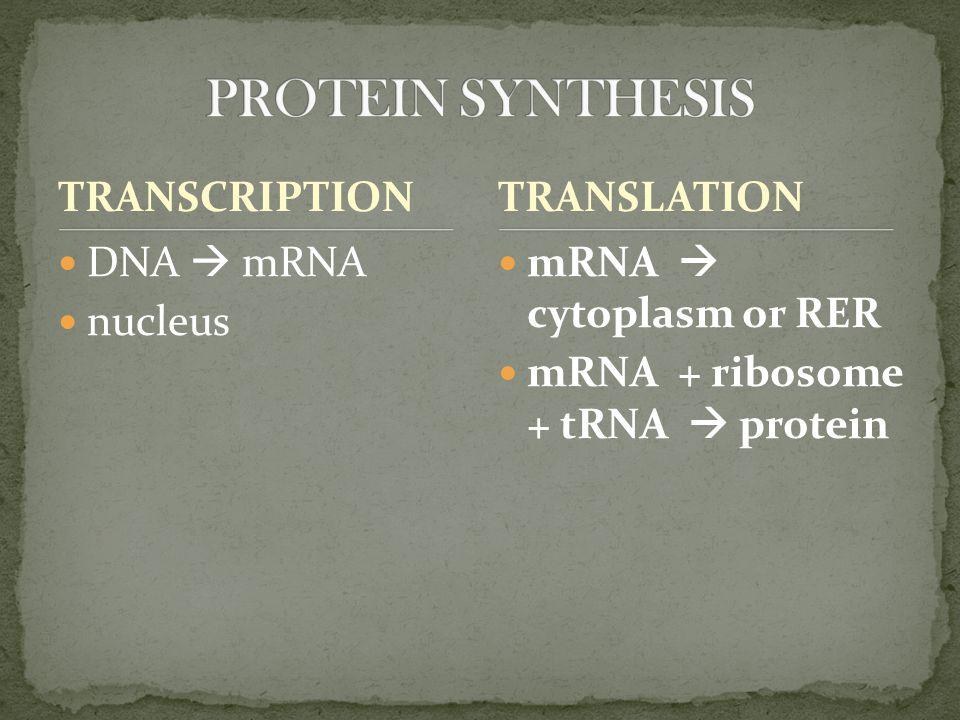 TRANSCRIPTION DNA  mRNA nucleus mRNA  cytoplasm or RER mRNA + ribosome + tRNA  protein TRANSLATION