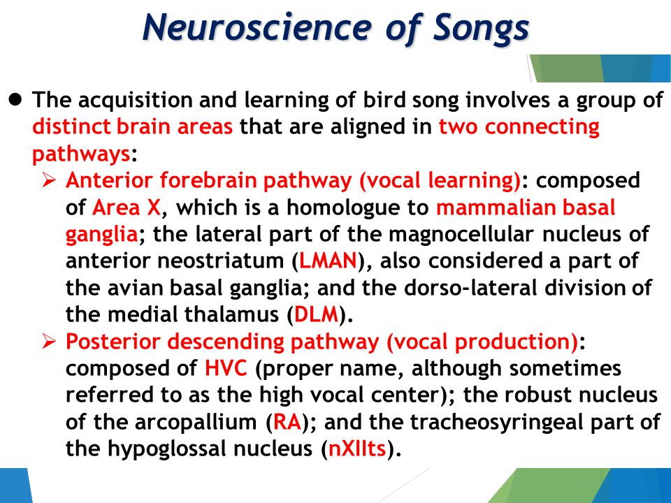 Neuroscience of Songs The acquisition and learning of bird song involves a group of distinct brain areas that are aligned in two connecting pathways:  Anterior forebrain pathway (vocal learning): composed of Area X, which is a homologue to mammalian basal ganglia; the lateral part of the magnocellular nucleus of anterior neostriatum (LMAN), also considered a part of the avian basal ganglia; and the dorso-lateral division of the medial thalamus (DLM).