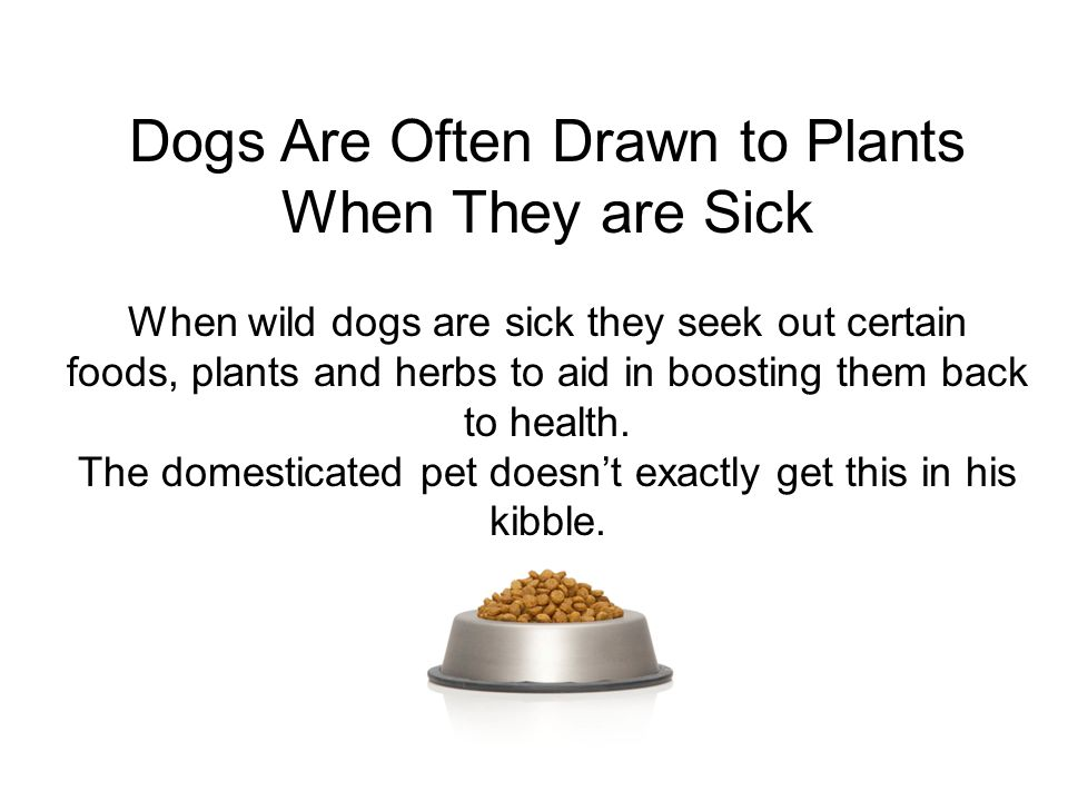 Dogs Are Often Drawn to Plants When They are Sick When wild dogs are sick they seek out certain foods, plants and herbs to aid in boosting them back to health.