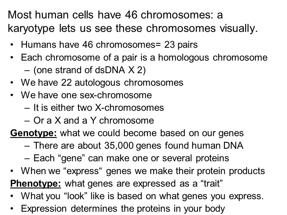 Most human cells have 46 chromosomes: a karyotype lets us see these chromosomes visually. Humans have 46 chromosomes= 23 pairs Each chromosome of a pa