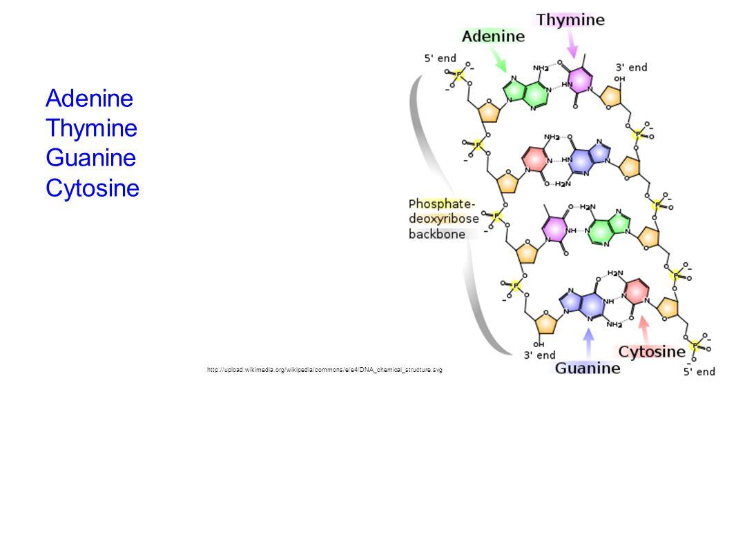Adenine Thymine Guanine Cytosine http://upload.wikimedia.org/wikipedia/commons/e/e4/DNA_chemical_structure.svg