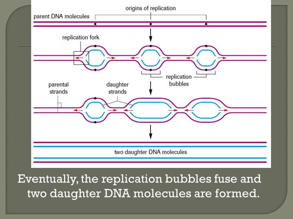 Eventually, the replication bubbles fuse and two daughter DNA molecules are formed.