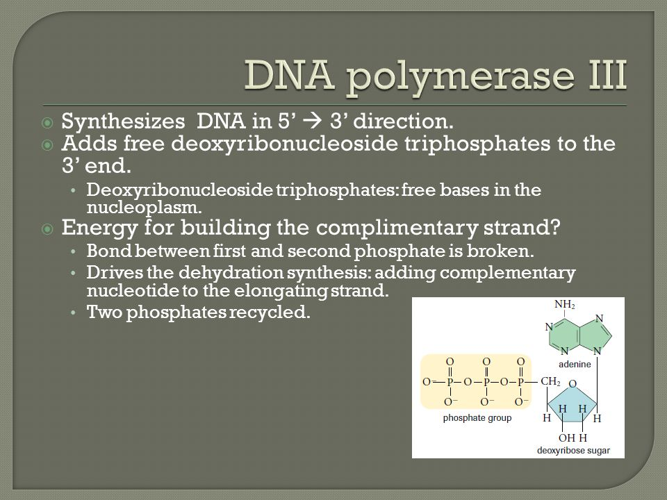  Synthesizes DNA in 5'  3' direction.