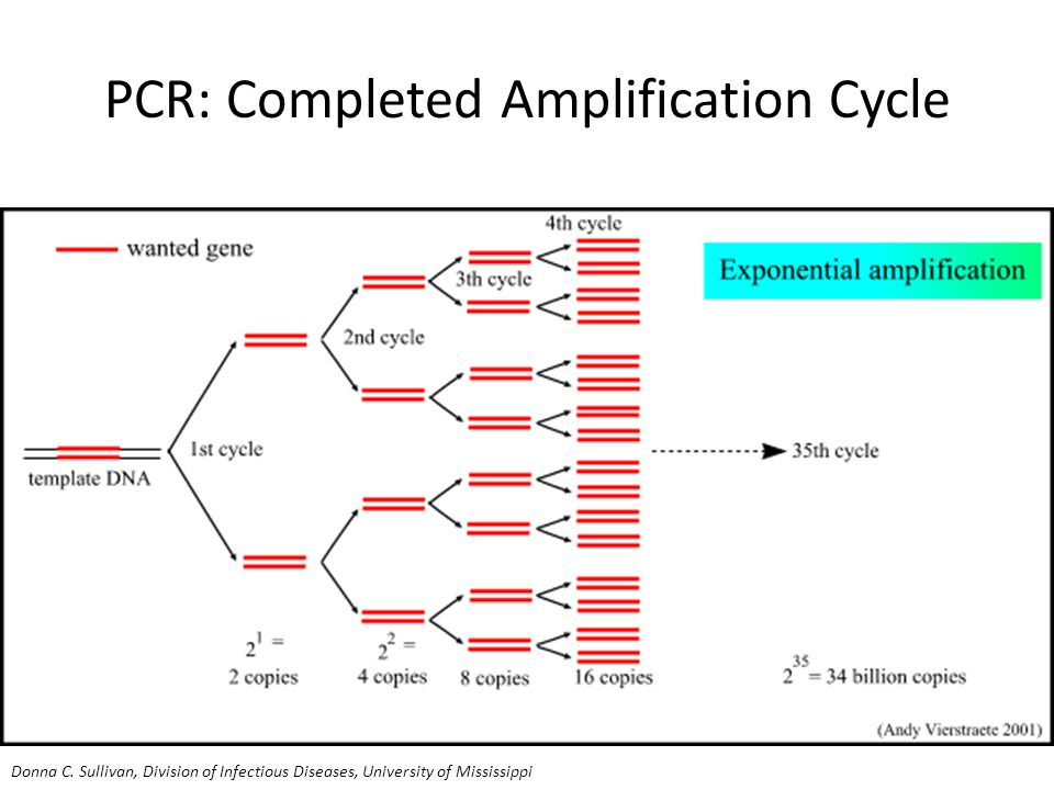 PCR: Completed Amplification Cycle Donna C.