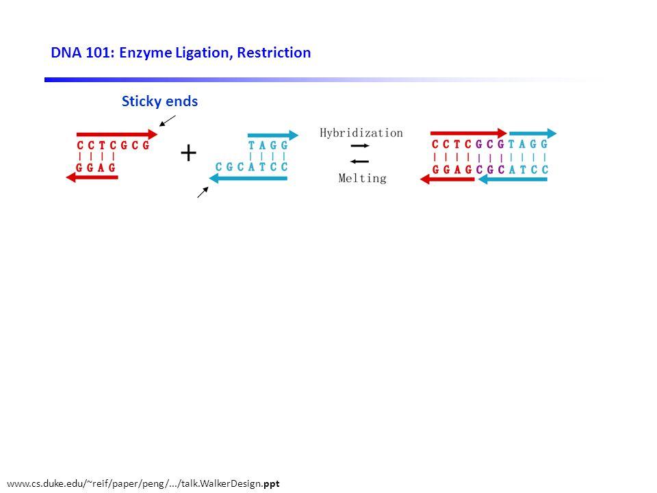 DNA 101: Enzyme Ligation, Restriction Sticky ends DNA ligase DNA restriction enzyme www.cs.duke.edu/~reif/paper/peng/.../talk.WalkerDesign.ppt