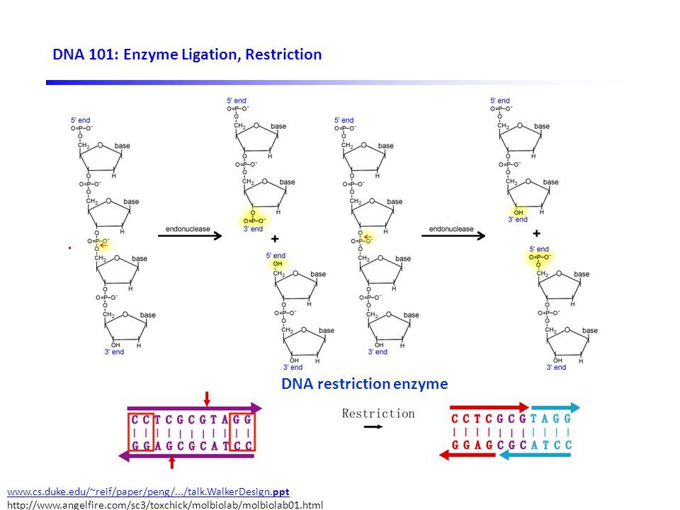 DNA 101: Enzyme Ligation, Restriction Sticky ends DNA ligase DNA restriction enzyme www.cs.duke.edu/~reif/paper/peng/.../talk.WalkerDesign.ppt http://