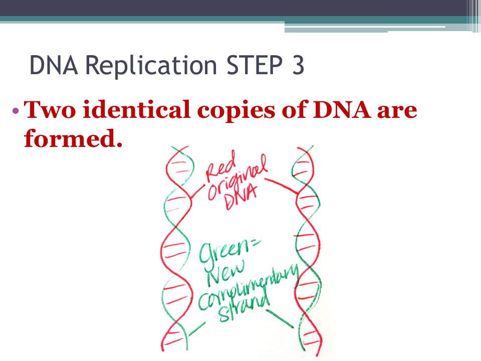 DNA Replication STEP 3 Two identical copies of DNA are formed.
