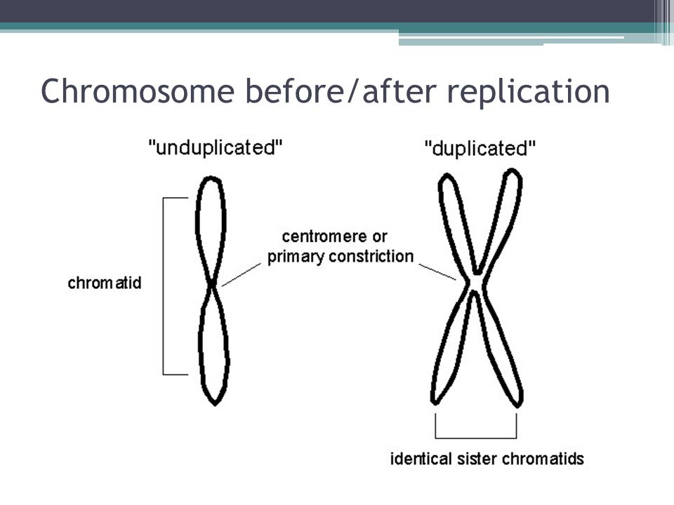 Chromosome before/after replication