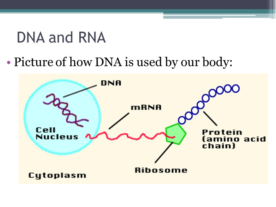 DNA and RNA Picture of how DNA is used by our body: