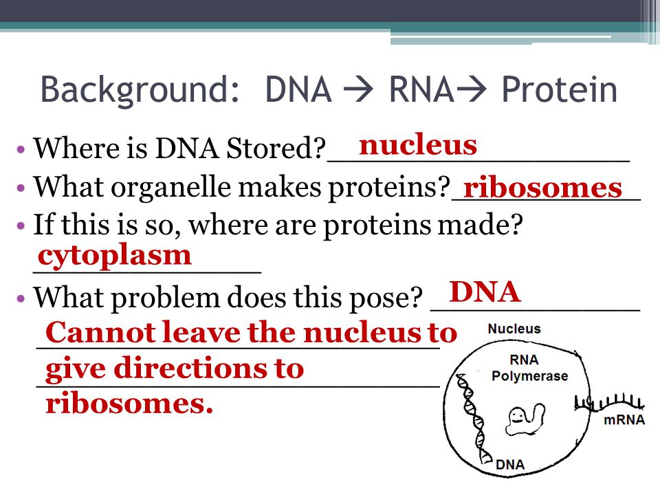 Background: DNA  RNA  Protein Where is DNA Stored?________________ What organelle makes proteins?__________ If this is so, where are proteins made?