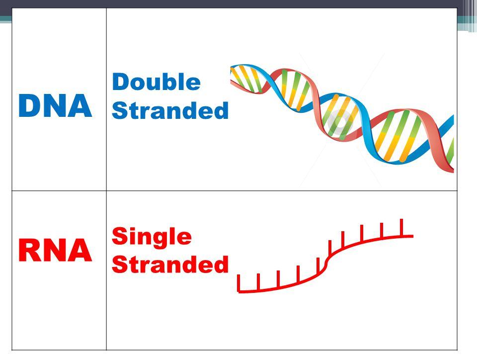 DNA Double Stranded RNA Single Stranded
