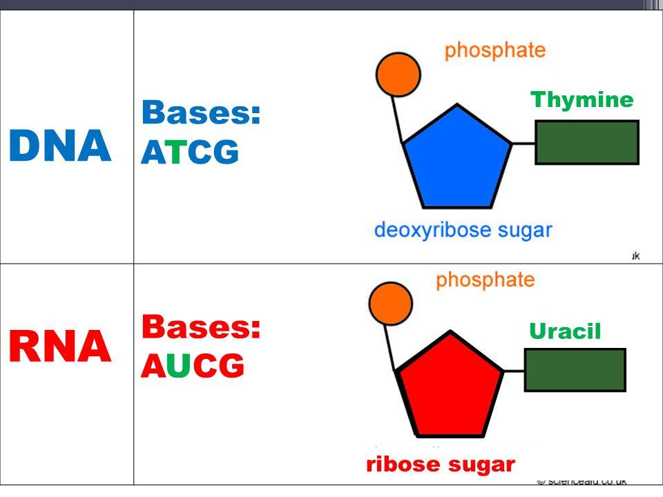 DNA Bases: ATCG RNA Bases: AUCG ribose sugar Thymine Uracil