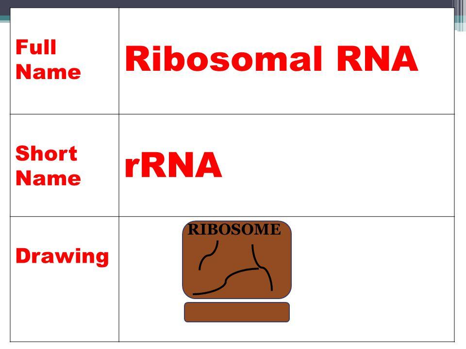 Full Name Ribosomal RNA Short Name rRNA Drawing RIBOSOME