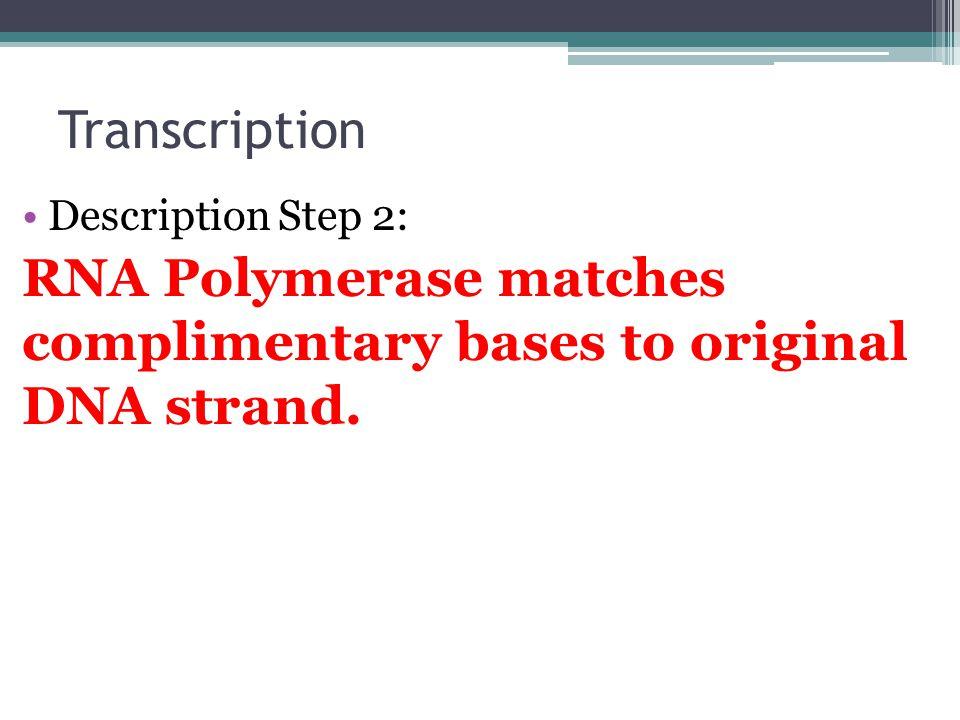 Transcription Description Step 2: RNA Polymerase matches complimentary bases to original DNA strand.