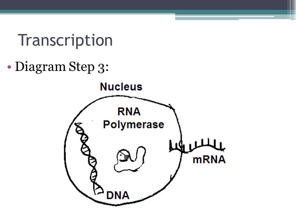Transcription Diagram Step 3: