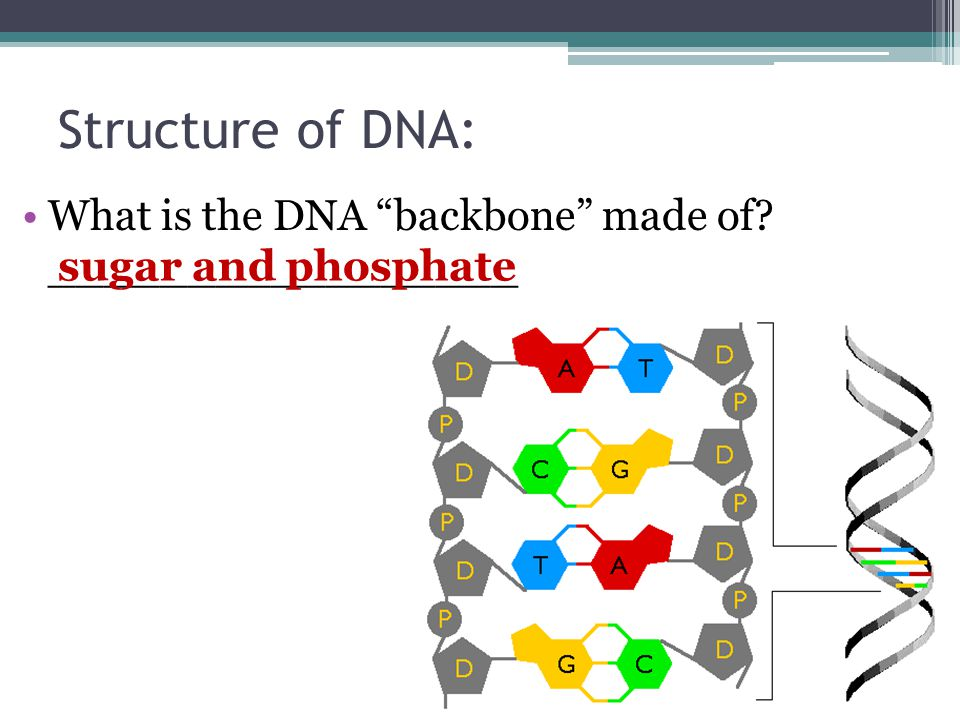 """Structure of DNA: What is the DNA """"backbone"""" made of? _________________ sugar and phosphate"""