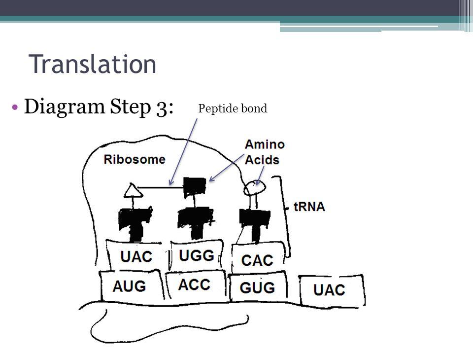 Translation Diagram Step 3: Peptide bond